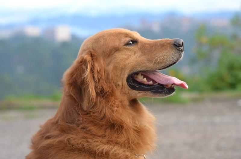 Golden Retriever (labrador)